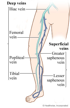 superficial and deep veins of the leg